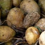 flies love the smell of rotting food like these potatoes