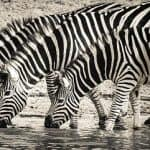 zebra print can hide from horse flies