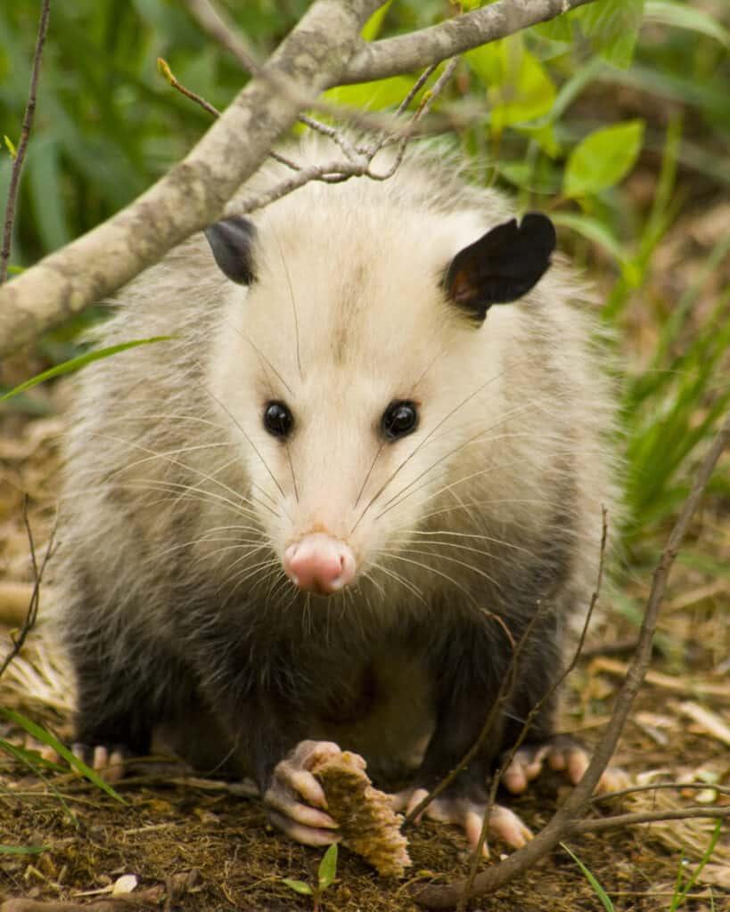 opossum eat loads of ticks
