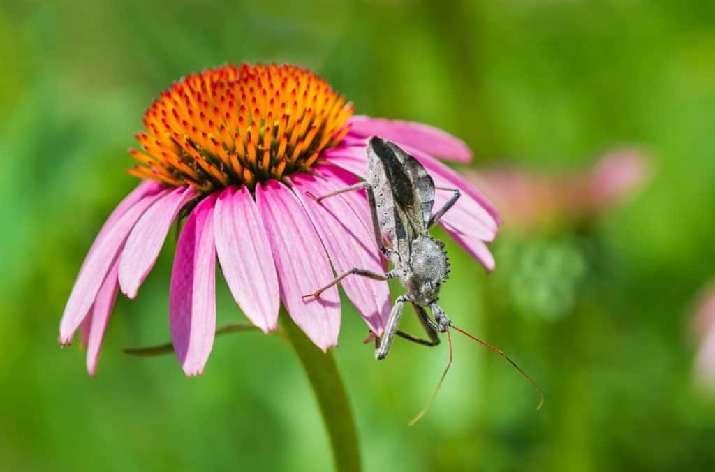 wheel bug waiting for meal