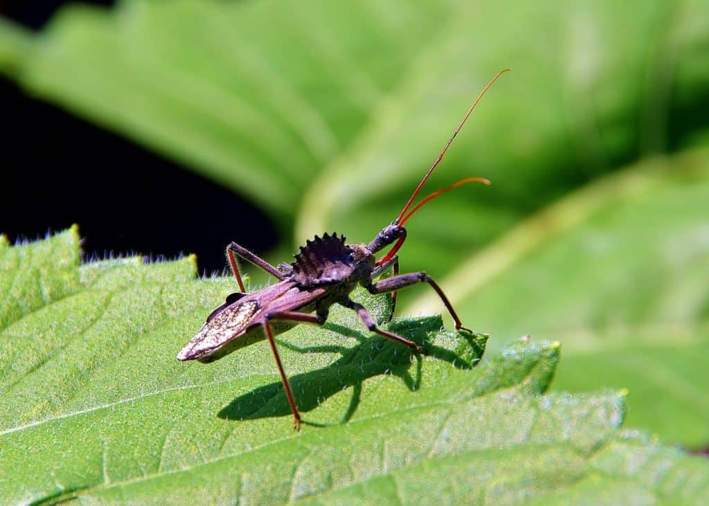 pic of wheel bug waiting for insect