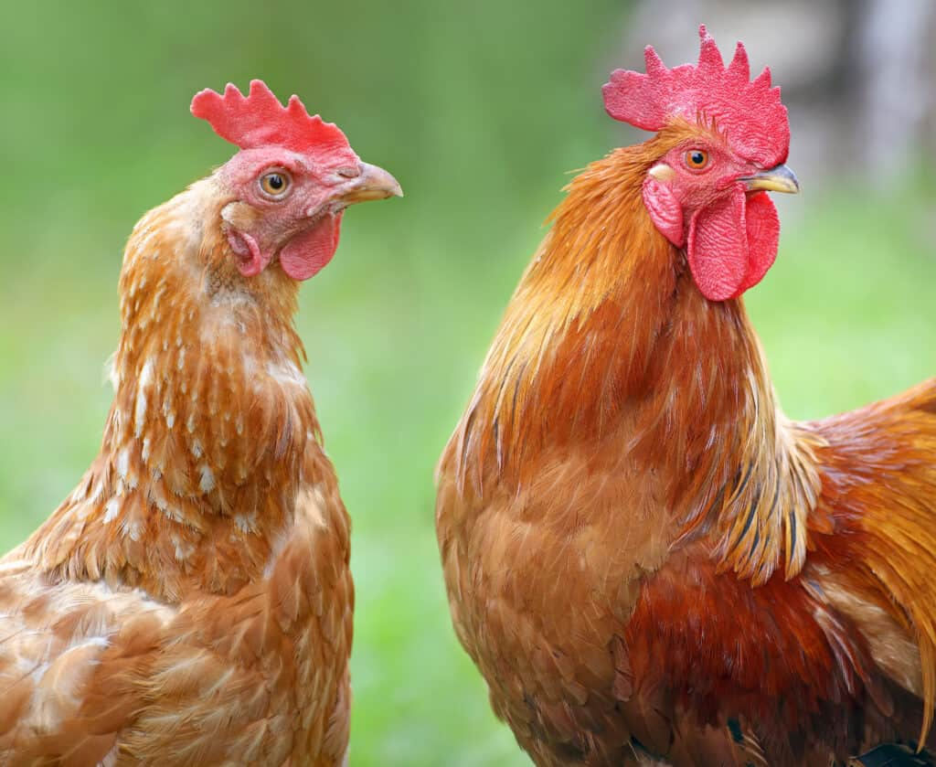 chickens and other farm poultry eat lots of ticks