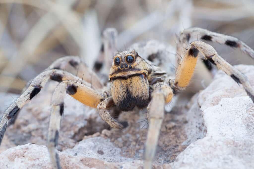 wolf spiders do eat ticks