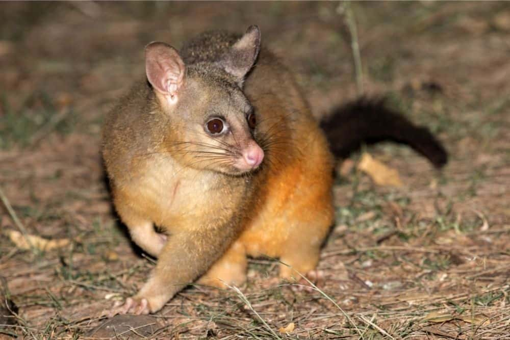 Are Possums Dangerous?