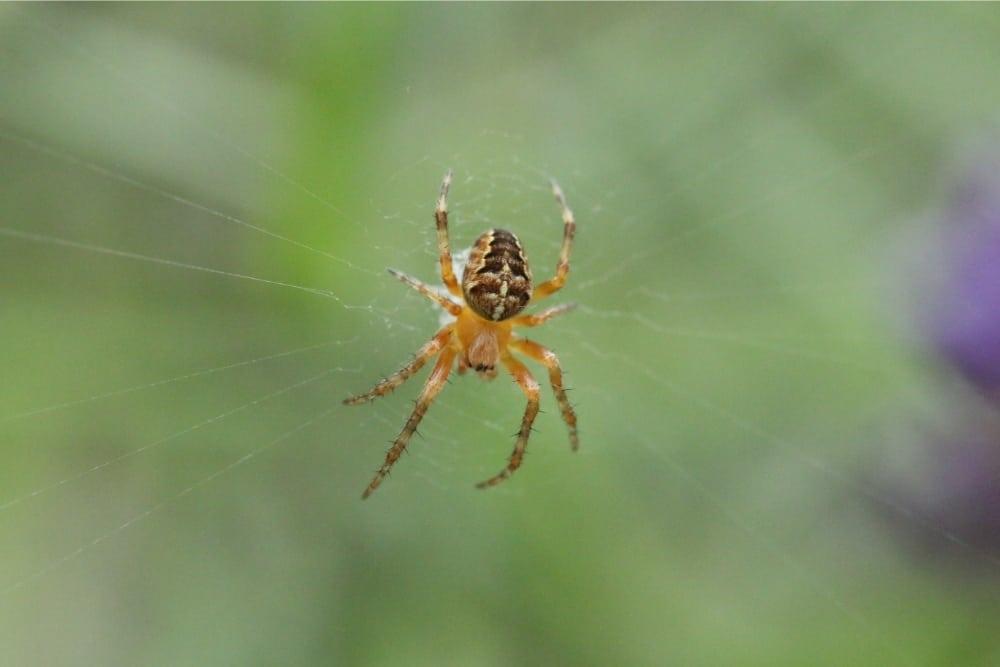 Non-House Spider